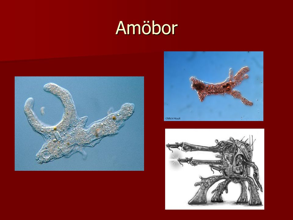Amöbor