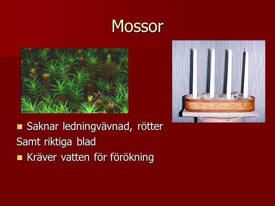 Mossor Saknar ledningvävnad, rötter Samt riktiga blad