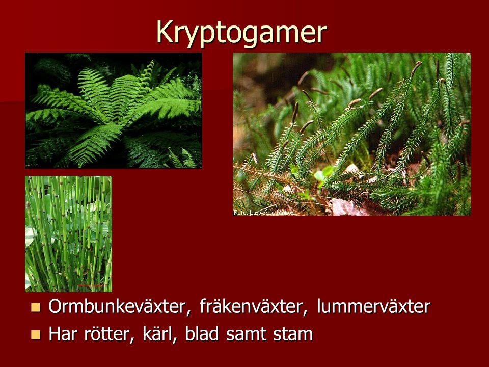 Kryptogamer Ormbunkeväxter, fräkenväxter, lummerväxter