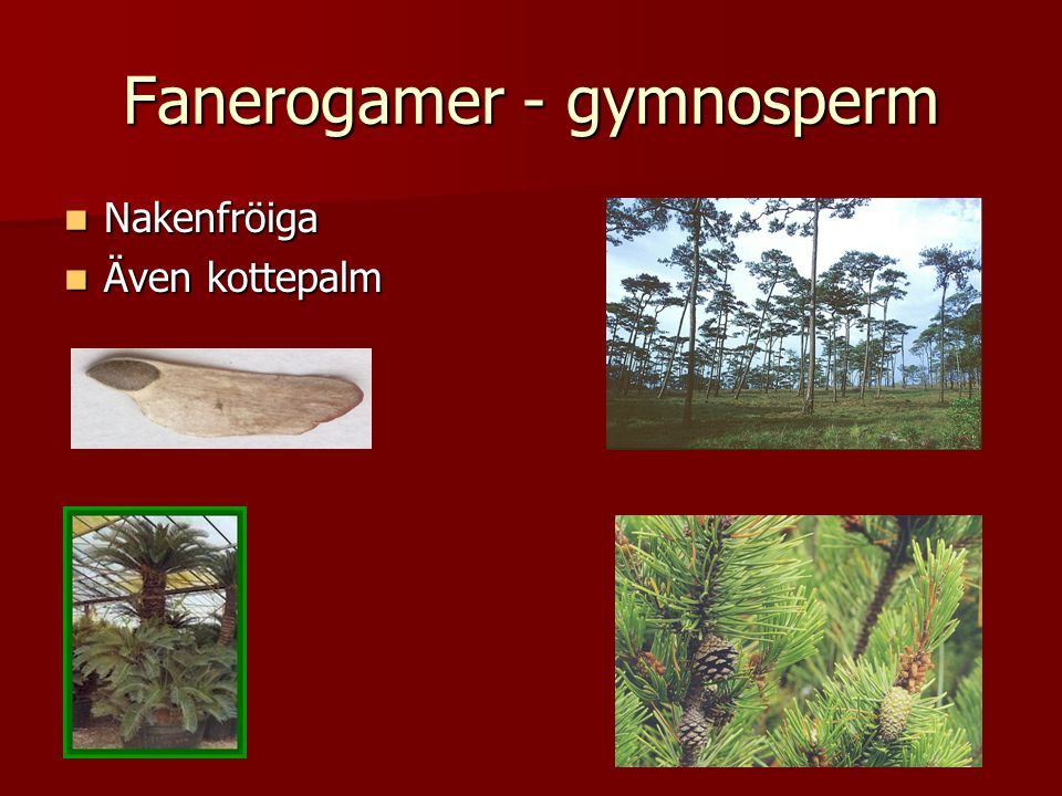 Fanerogamer - gymnosperm