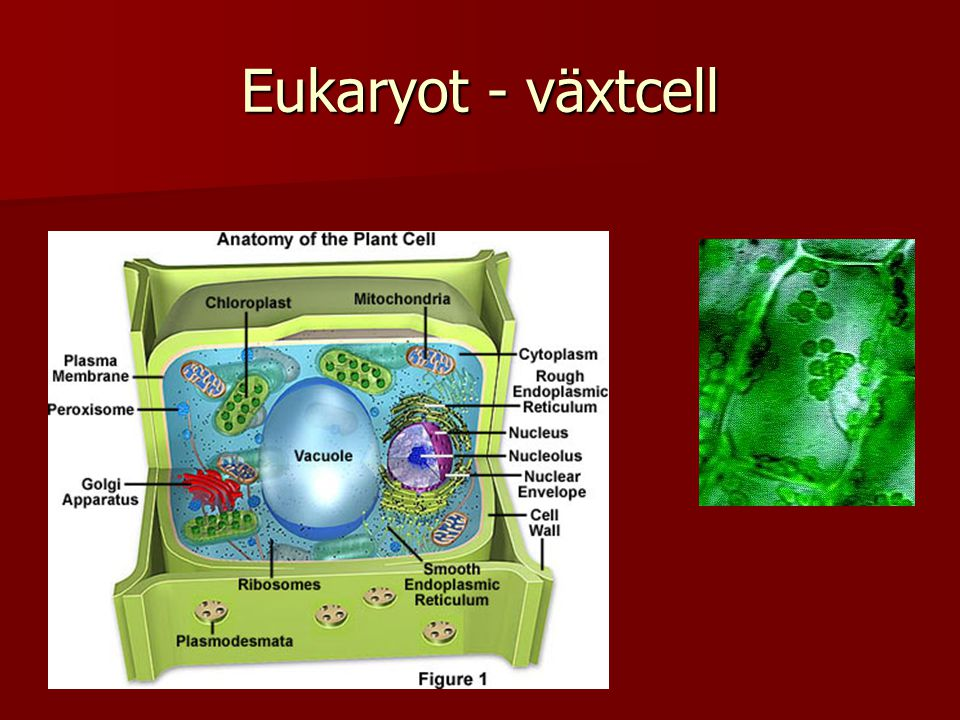 Eukaryot - växtcell