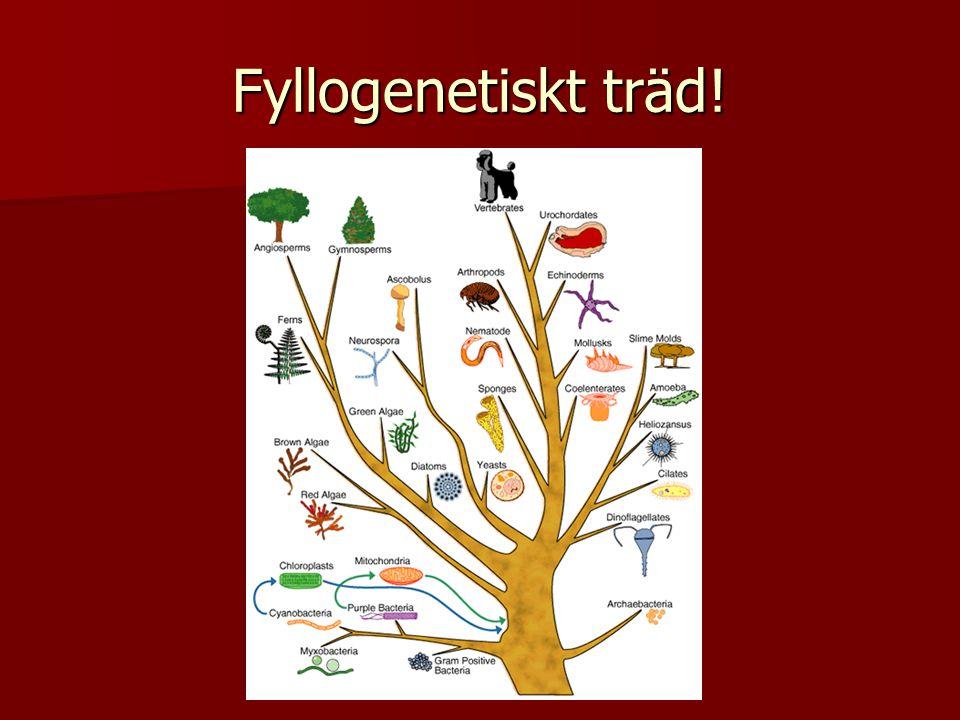 Fyllogenetiskt träd!