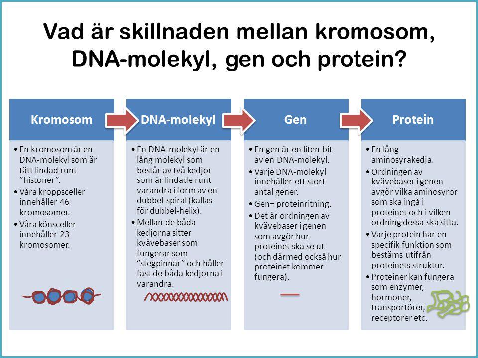 Vad är skillnaden mellan kromosom, DNA-molekyl, gen och protein