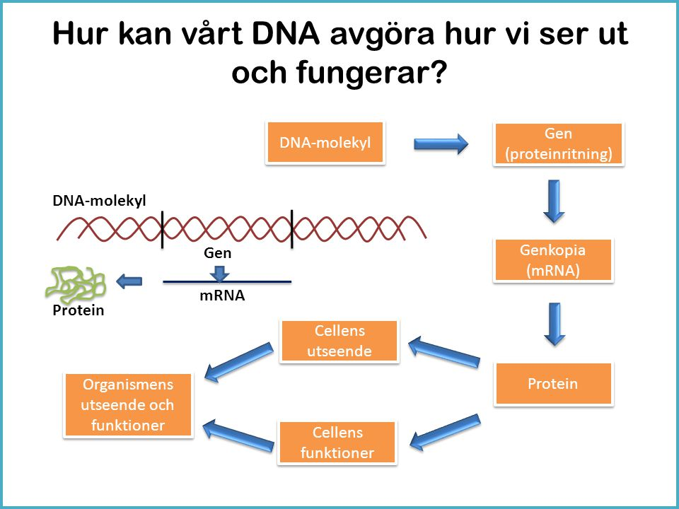 Hur kan vårt DNA avgöra hur vi ser ut och fungerar