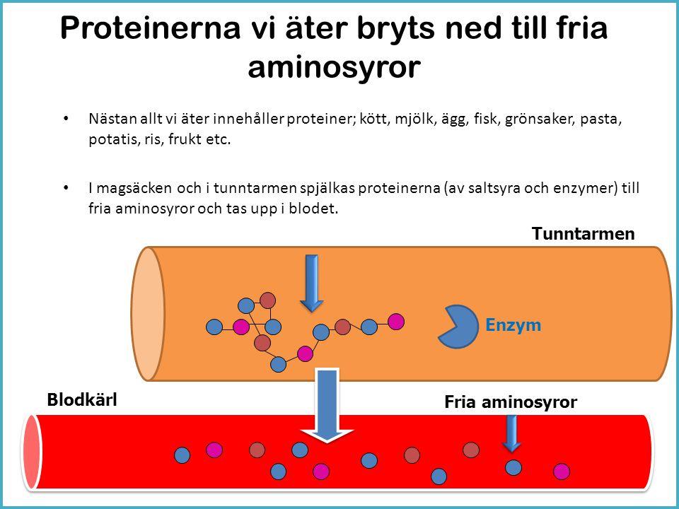 Proteinerna vi äter bryts ned till fria aminosyror