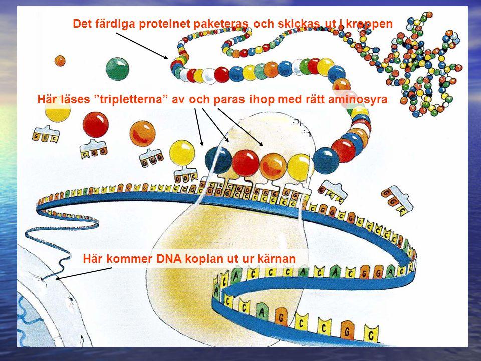 Det färdiga proteinet paketeras och skickas ut i kroppen