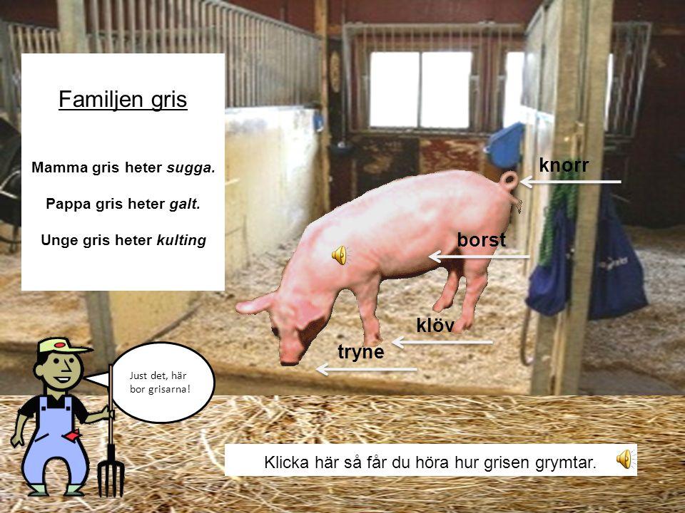Klicka här så får du höra hur grisen grymtar.