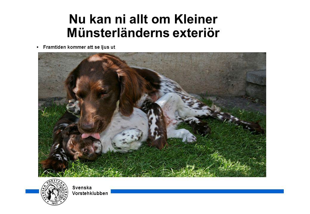 Nu kan ni allt om Kleiner Münsterländerns exteriör