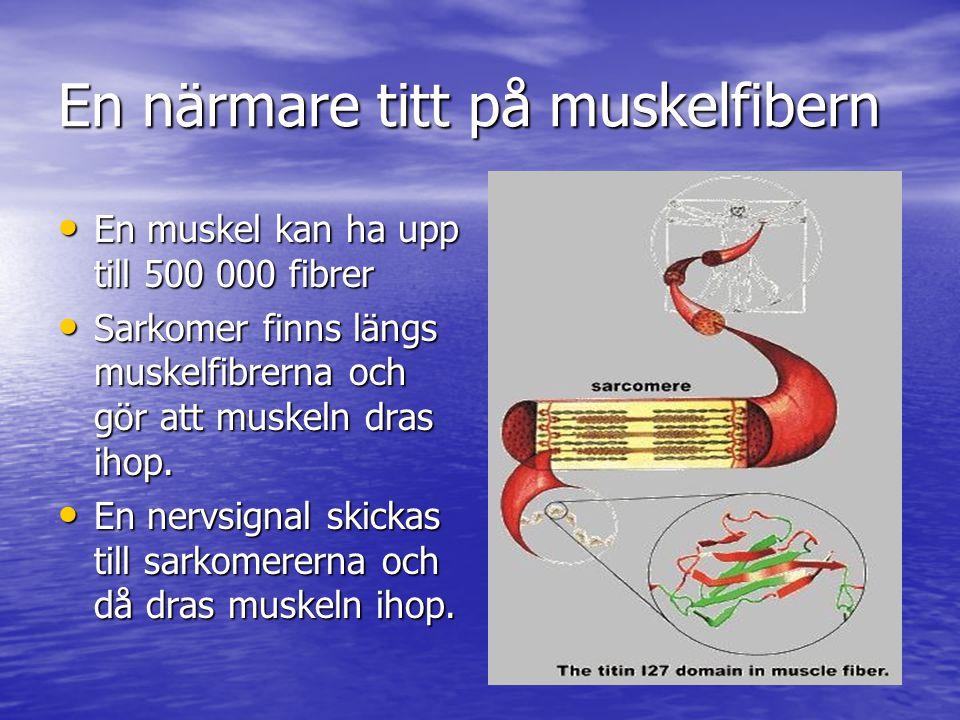 En närmare titt på muskelfibern