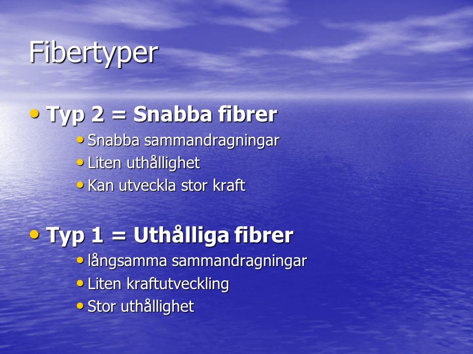 Fibertyper Typ 2 = Snabba fibrer Typ 1 = Uthålliga fibrer