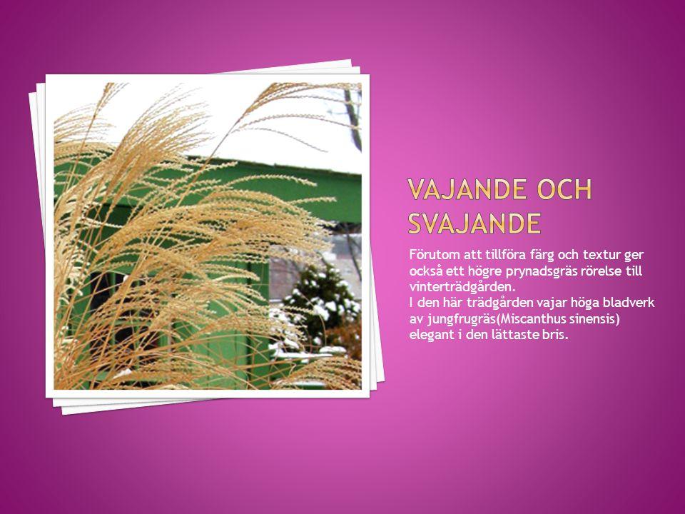 Vajande och svajande Förutom att tillföra färg och textur ger också ett högre prynadsgräs rörelse till vinterträdgården.