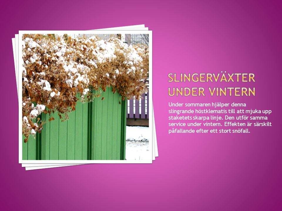 Slingerväxter under vintern