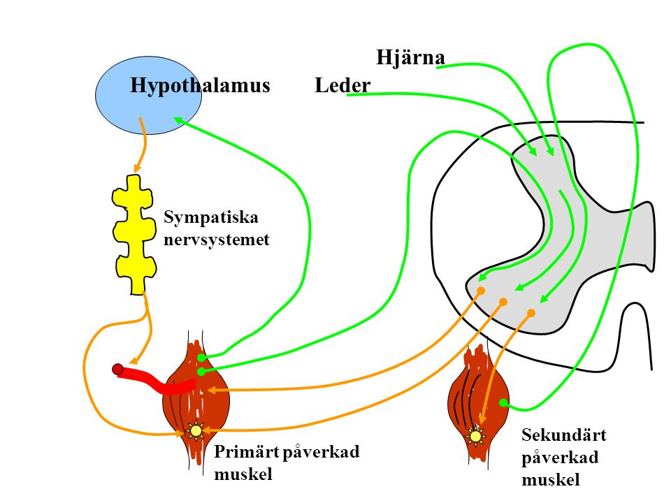 Hjärna Hypothalamus Leder Sympatiska nervsystemet