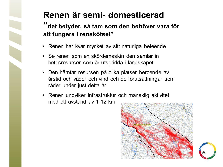 Renen är semi- domesticerad det betyder, så tam som den behöver vara för att fungera i renskötsel