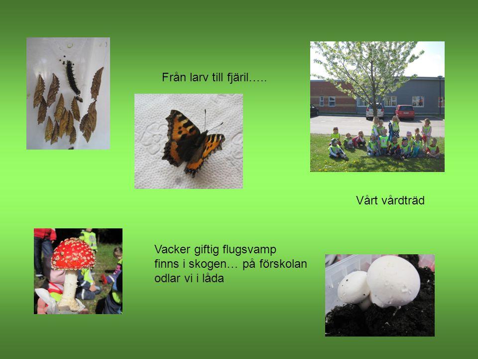 Från larv till fjäril….. Vårt vårdträd. Vacker giftig flugsvamp.