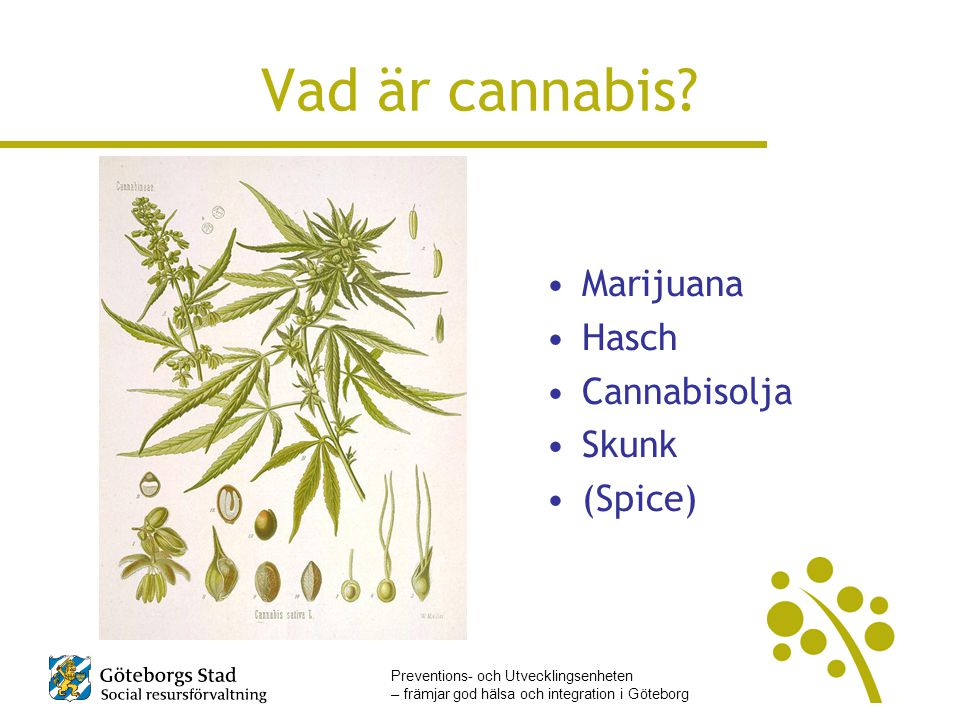 Vad är cannabis Marijuana Hasch Cannabisolja Skunk (Spice)