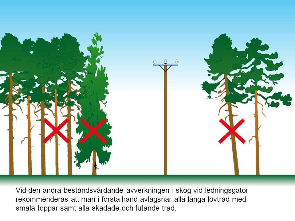 Vid den andra beståndsvårdande avverkningen i skog vid ledningsgator rekommenderas att man i första hand avlägsnar alla långa lövträd med