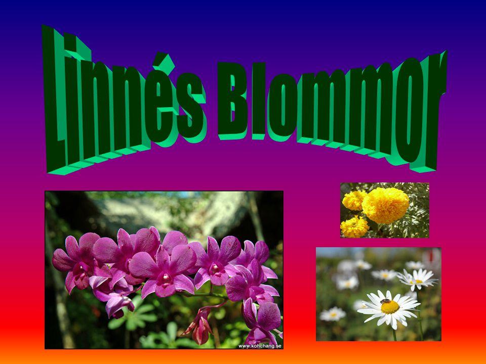 Linnés Blommor