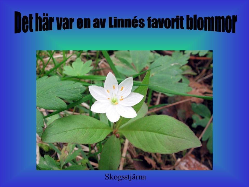 Det här var en av Linnés favorit blommor
