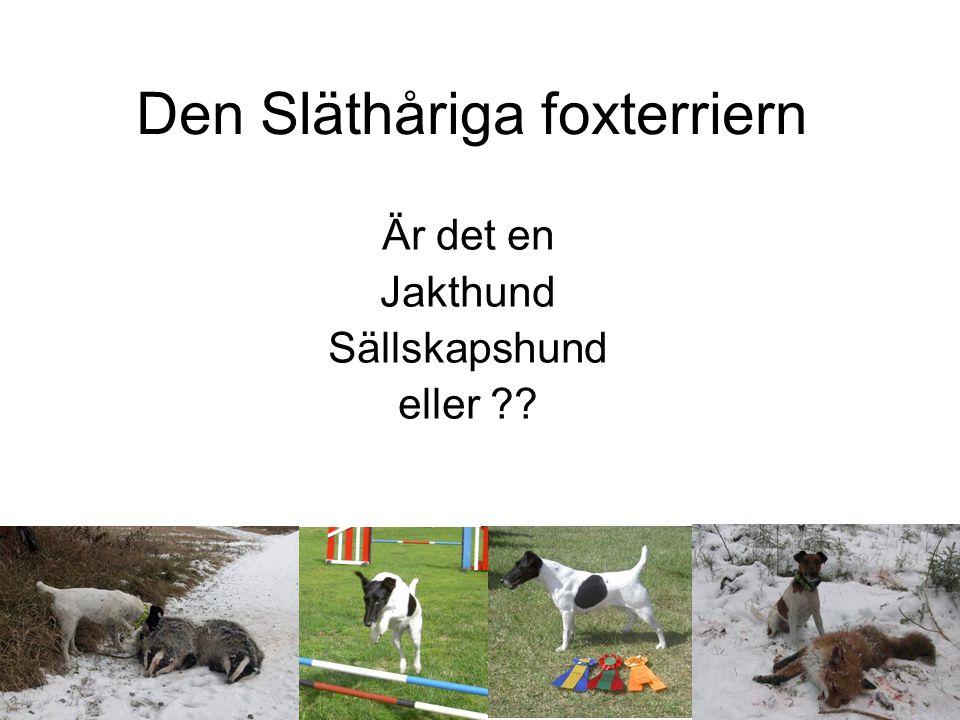 Den Släthåriga foxterriern