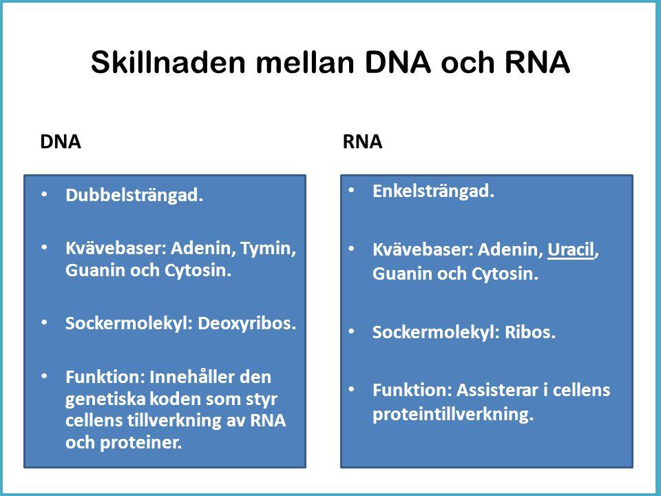 Skillnaden mellan DNA och RNA