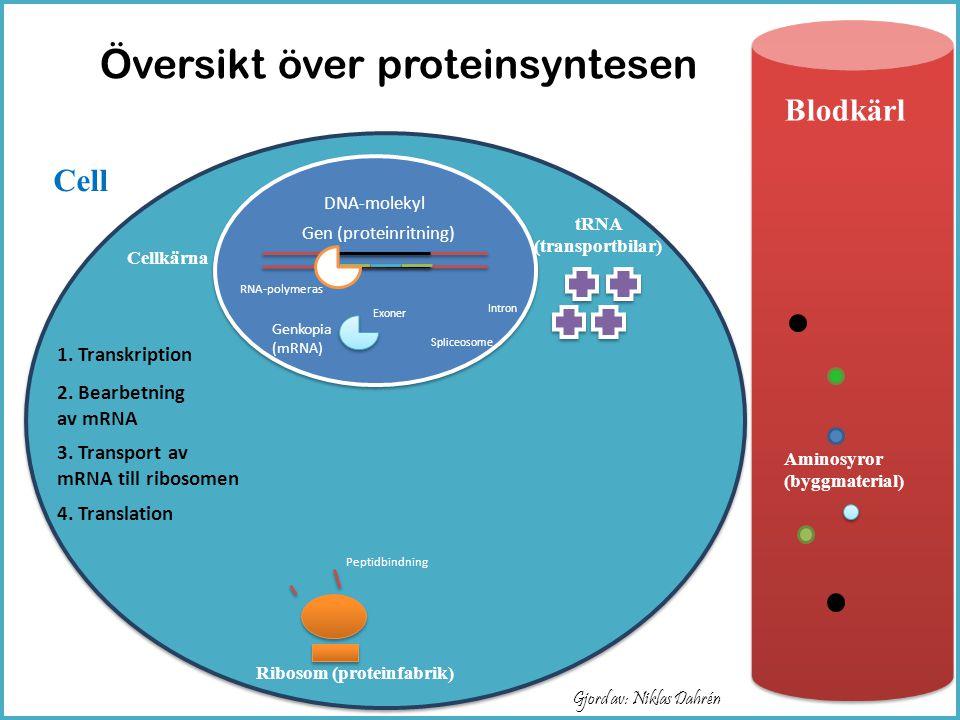 Översikt över proteinsyntesen