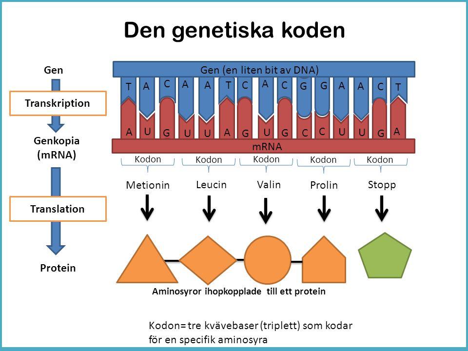 Den genetiska koden Gen Gen (en liten bit av DNA) A C T A A T C A C G