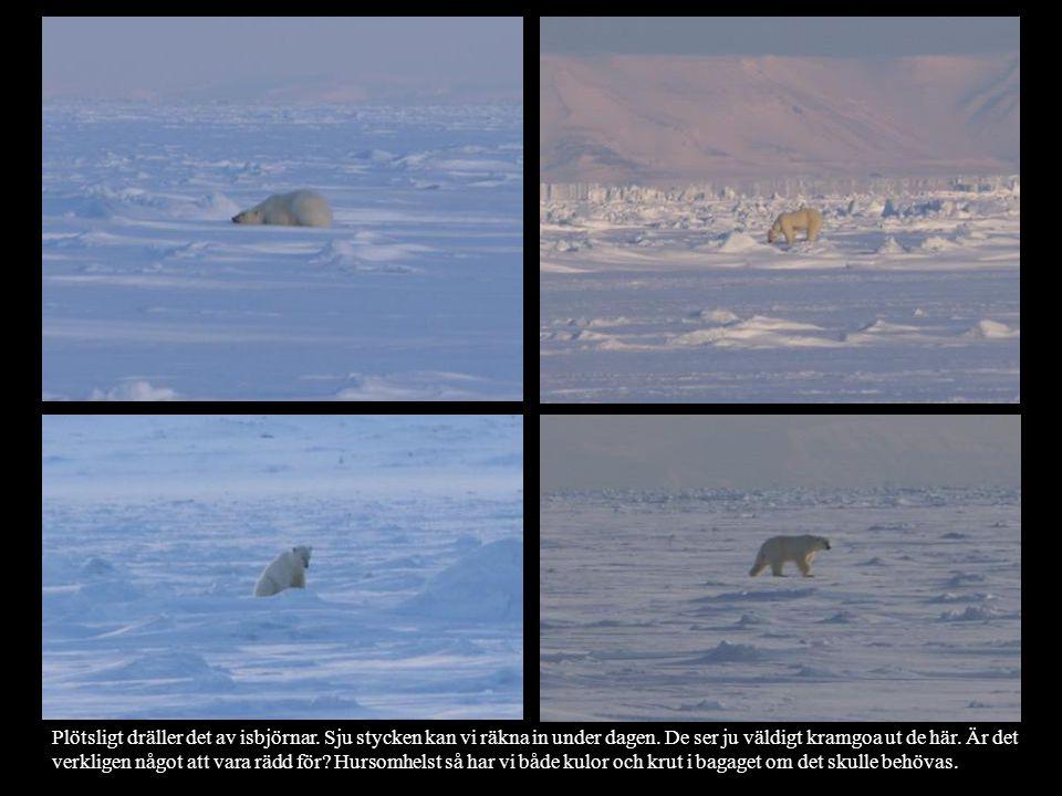 Plötsligt dräller det av isbjörnar