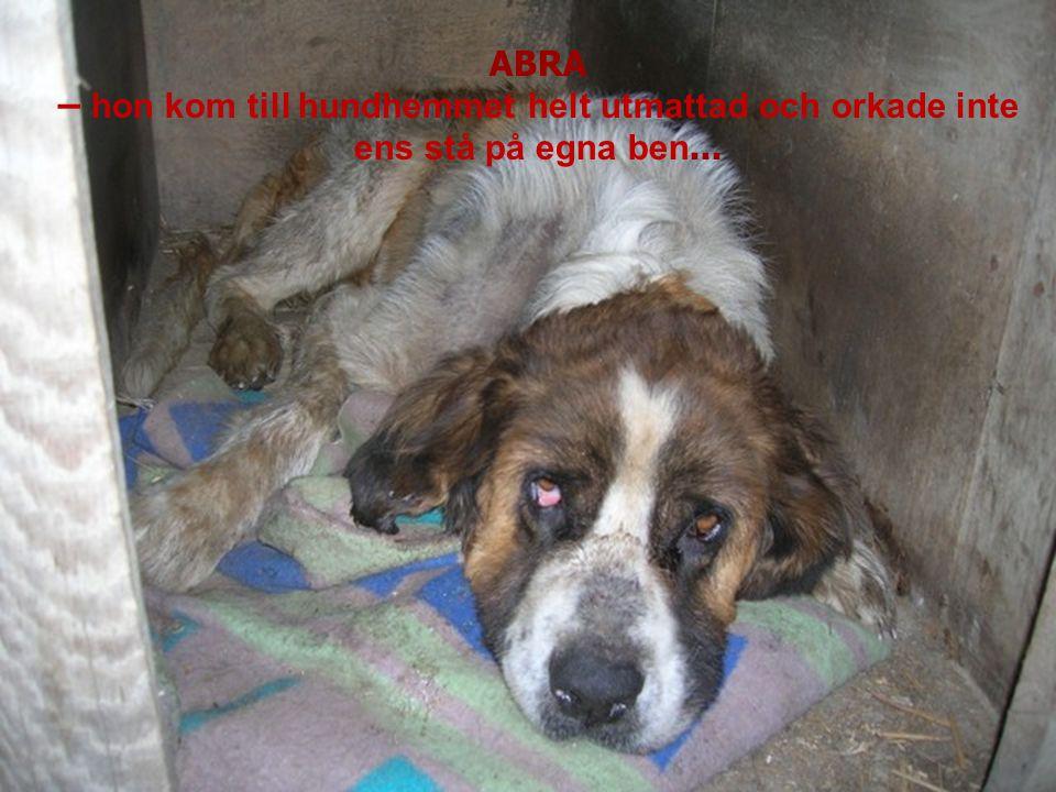ABRA – hon kom till hundhemmet helt utmattad och orkade inte ens stå på egna ben...