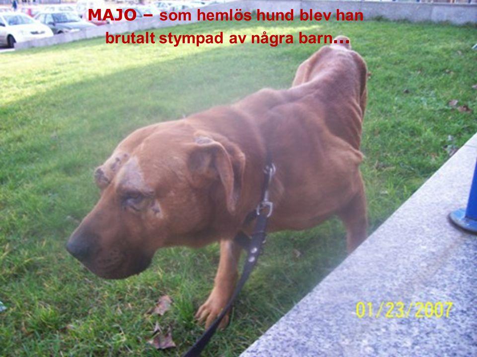 MAJO – bezdomny pies okrutnie okaleczony prze dzieci...