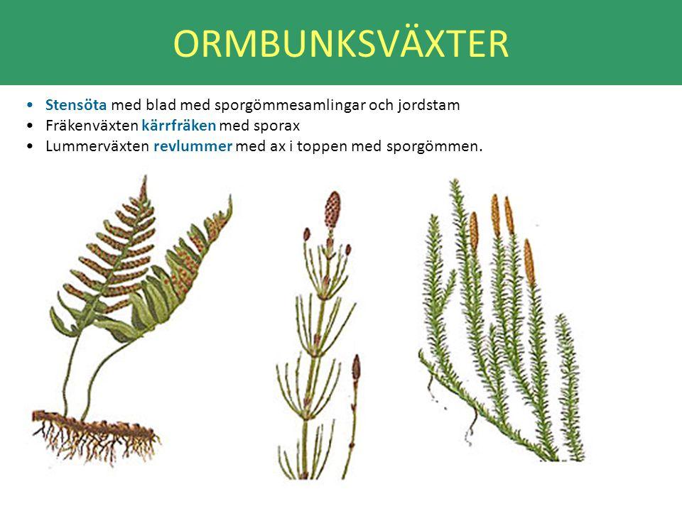 ORMBUNKSVÄXTER Stensöta med blad med sporgömmesamlingar och jordstam