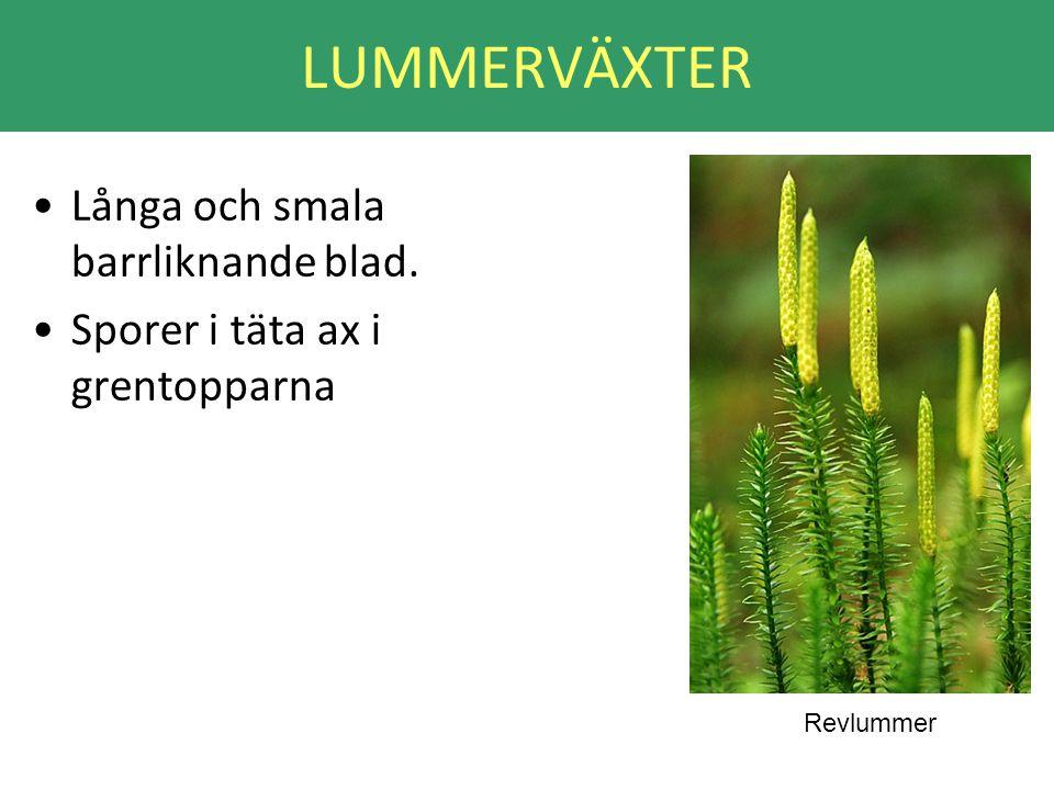 LUMMERVÄXTER Långa och smala barrliknande blad.