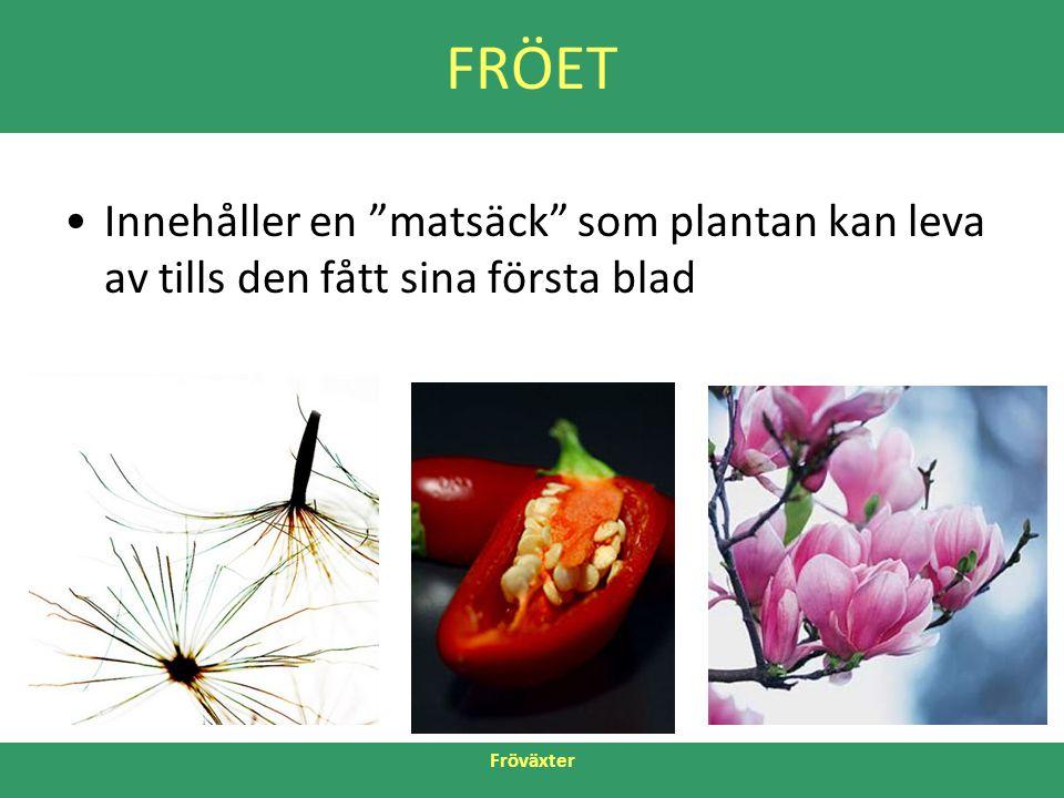 FRÖET Innehåller en matsäck som plantan kan leva av tills den fått sina första blad Fröväxter 5