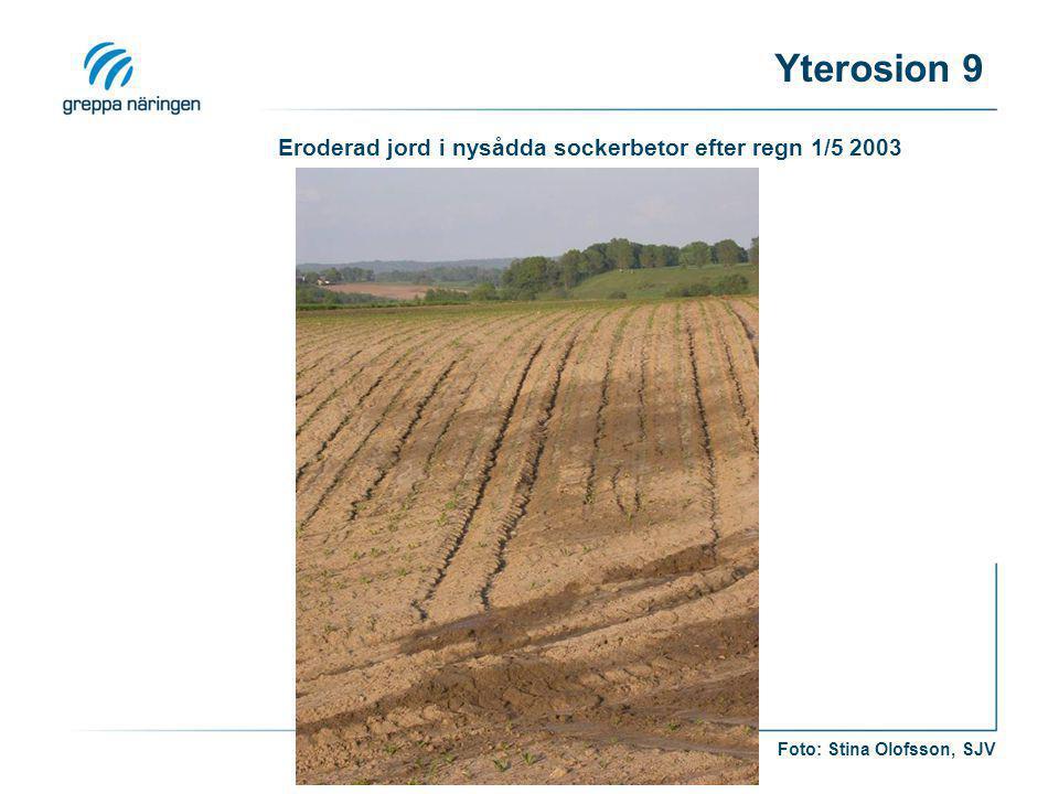 Eroderad jord i nysådda sockerbetor efter regn 1/5 2003