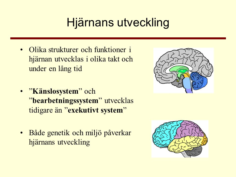 Hjärnans utveckling Olika strukturer och funktioner i hjärnan utvecklas i olika takt och under en lång tid.