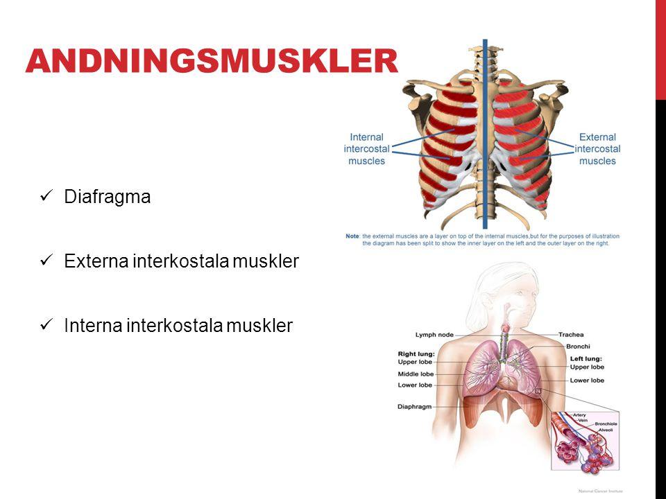 Andningsmuskler Diafragma Externa interkostala muskler