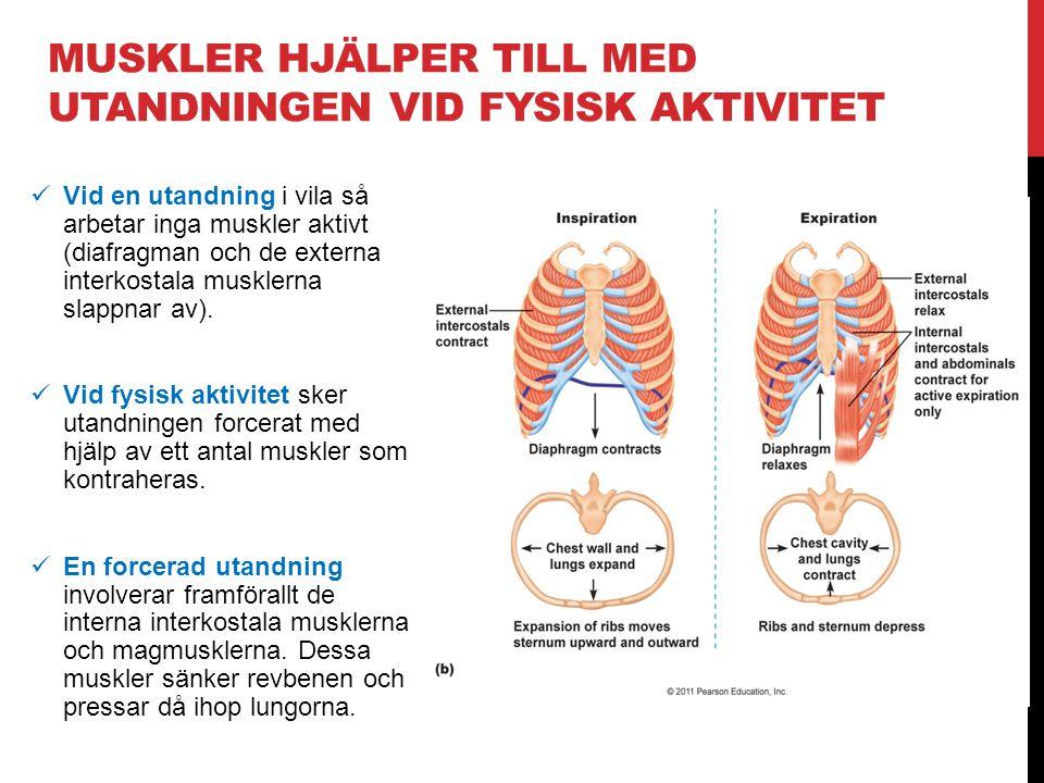 muskler hjälper till med utandningen vid fysisk aktivitet
