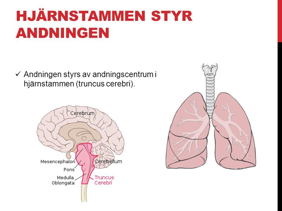Hjärnstammen styr andningen