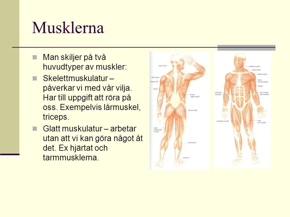 Musklerna Man skiljer på två huvudtyper av muskler: