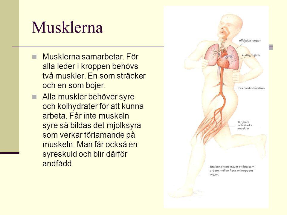 Musklerna Musklerna samarbetar. För alla leder i kroppen behövs två muskler. En som sträcker och en som böjer.