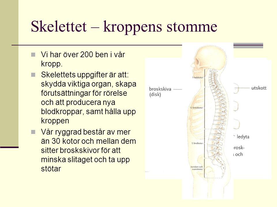Skelettet – kroppens stomme