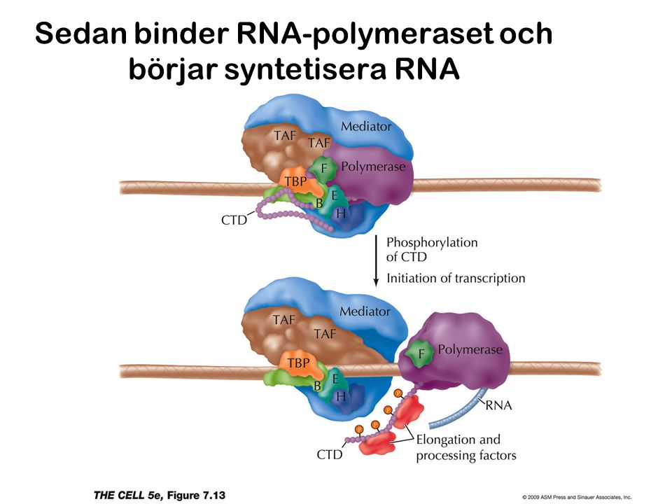 Sedan binder RNA-polymeraset och börjar syntetisera RNA