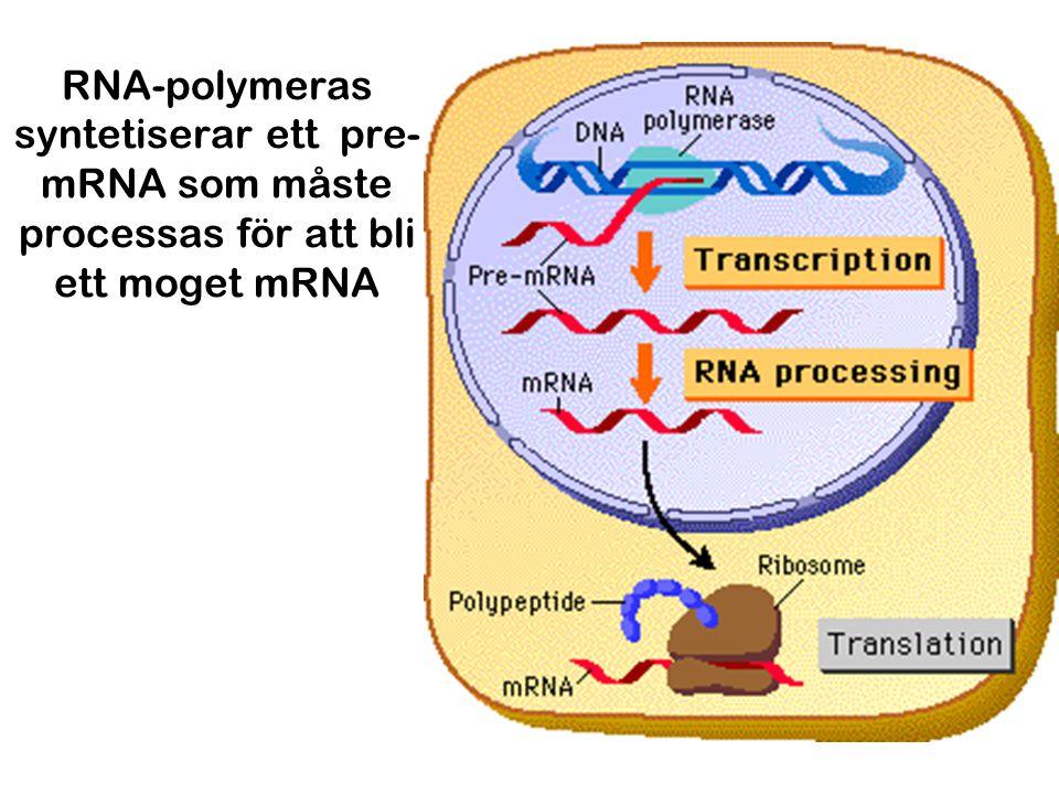 RNA-polymeras syntetiserar ett pre-mRNA som måste processas för att bli ett moget mRNA