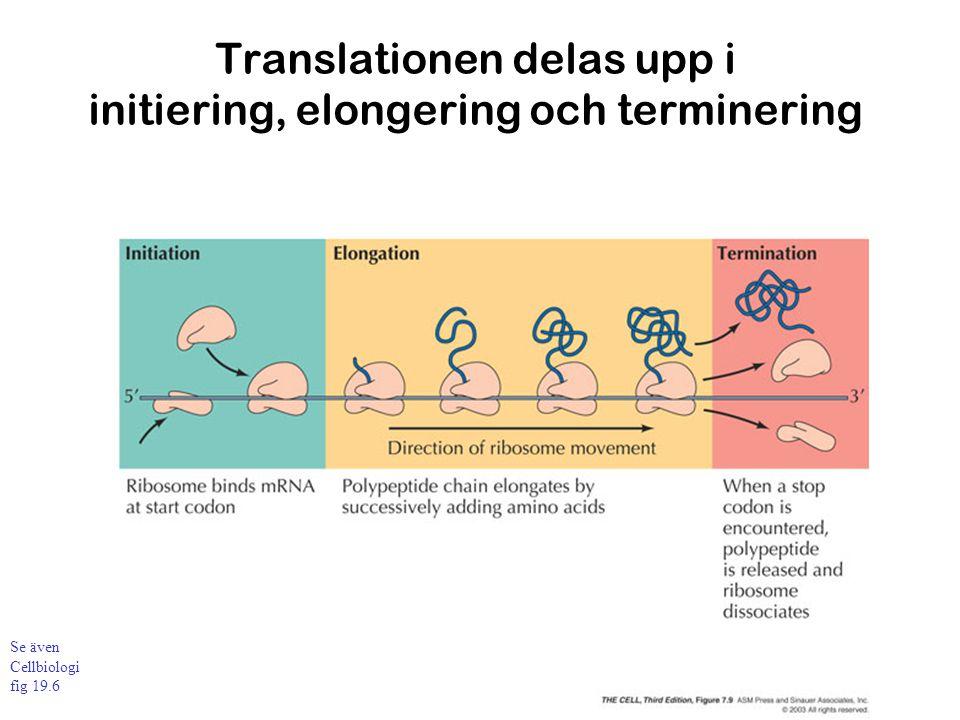 Translationen delas upp i initiering, elongering och terminering