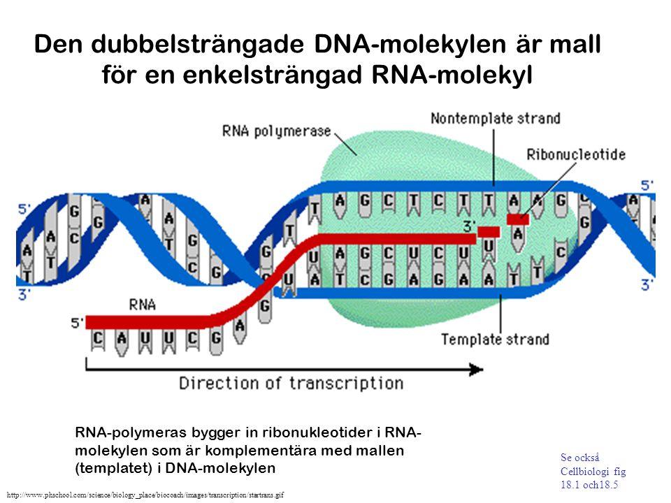 Den dubbelsträngade DNA-molekylen är mall för en enkelsträngad RNA-molekyl
