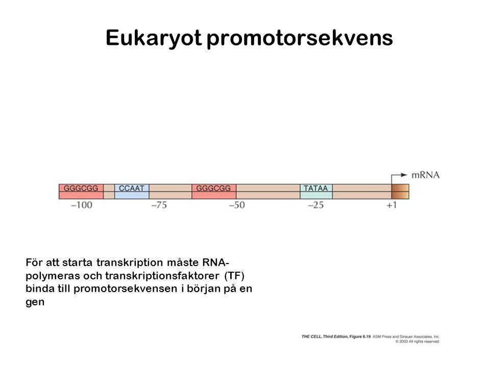 Eukaryot promotorsekvens