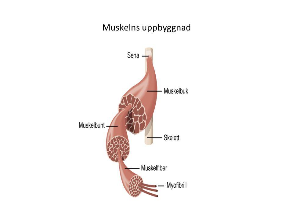 Muskelns uppbyggnad