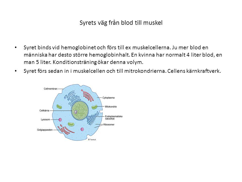 Syrets väg från blod till muskel