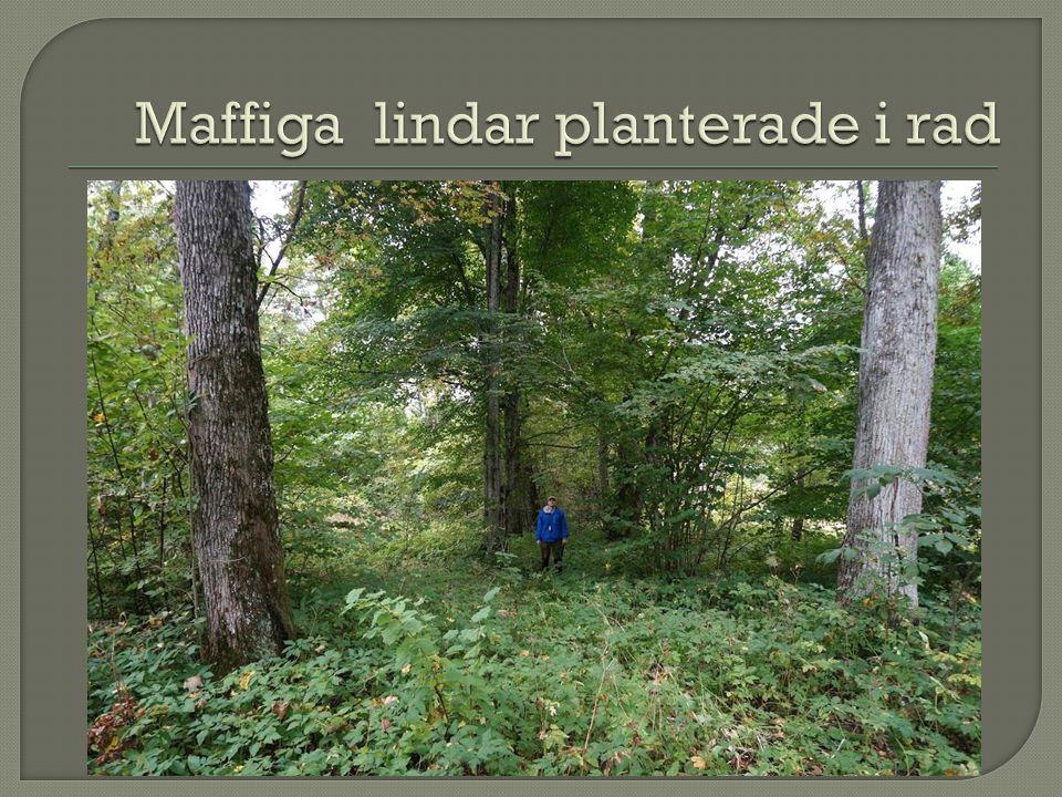 Maffiga lindar planterade i rad