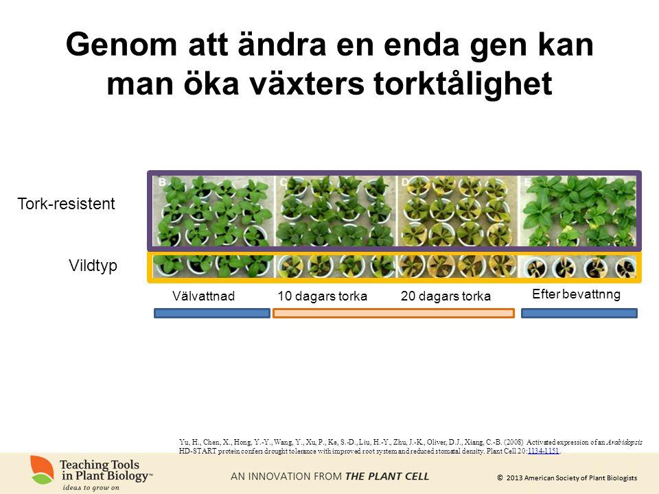 Genom att ändra en enda gen kan man öka växters torktålighet